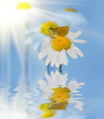 Butterfly, camomile and reflection — Stock Photo