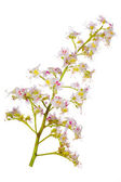 Chestnut branch with flowers on white — Stock Photo