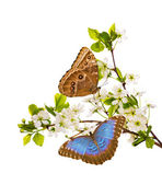 White cherry branches with morpho butterflies — Stock Photo