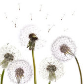 Group of isolated dandelions — Stock Photo