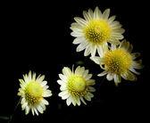 Group of light flowers on black — Stock Photo