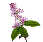 Isolated light lilac branch — Stock Photo