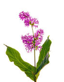 Dark lilac floral branch — Stock Photo