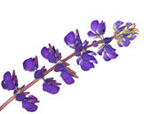 Donker blauwe lupine bloem geïsoleerd op wit — Stockfoto