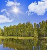 Birch forest under bright sun — Stock Photo