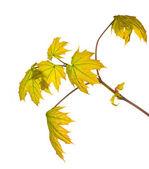 Nouvelles feuilles d'érable isolés sur blanc — Photo