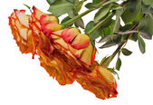 Five isolated red and yellow rose bouquet — Stock Photo