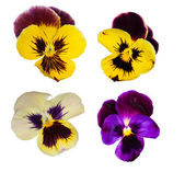 Set of four pansy flowers — Stock Photo