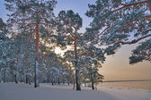 Winter pine forest in snow — Stock Photo