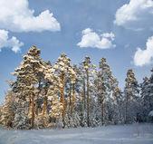 Winter dennenbos onder witte wolken — Stockfoto