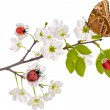 Cherry tree flowers, bugs and butterfly — Stock Vector #6650401