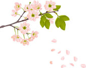 Pink cherry flowers and falling petals — Stock Vector