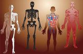 Human anatomy illustration — Stock Vector