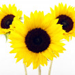Yellow sun flower — Stockfoto