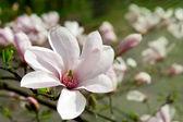 White magnolias — Foto de Stock