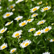 Daisys — Stock Photo