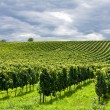 Stock Photo: Rows of grapes