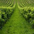 Rows of grapes - Foto Stock