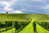 Rows of grapes — Stock Photo