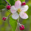 Stock Photo: Apple flower