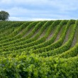 Beautiful rows of grape - Foto Stock