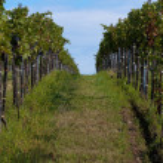 Beautiful rows of grape — Stock Photo