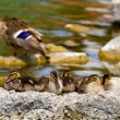 Wild duck family — Stock Photo