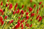 Alfalfa — Stock Photo