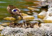 Wild duck familj — Stockfoto