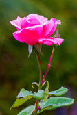 Rose med droppar — Stockfoto