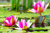 Water lilly — Stockfoto