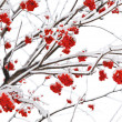Branches of mountain ash - Stock Photo