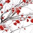 Branches of mountain ash — Stock Photo
