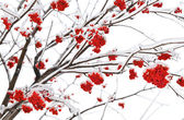 Branches of mountain ash — ストック写真