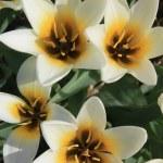 White and yellow tulips — Stock Photo #5383411