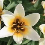White and yellow tulips — Stock Photo #5383416