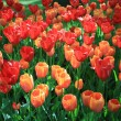Orange and red tulips in a field — 图库照片