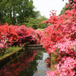 Stock Photo: Perspective view with various rhododendron colors