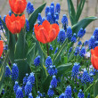 Orange tulips and blue common hyacints — Zdjęcie stockowe