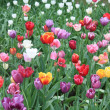 Mixed colored tulips — Stock Photo