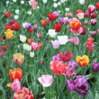 Mixed colored tulips — 图库照片