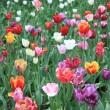 Mixed colored tulips — Stock Photo #5808585