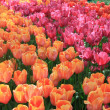 Orange, pink and red tulips — ストック写真