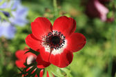 Rode anemone in vol zonlicht — Stockfoto