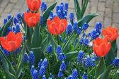 Orange tulips and blue common hyacints — Stock Photo