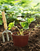 Strawberry plant in pot — Stock Photo