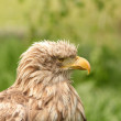 Eagle portrait haliaeetus albicilla — Stock Photo