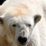 Polar white bear — Stock Photo