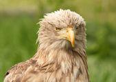 European white tailed eagle — Stock Photo