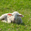 Little white lamb lying in pasture — Stock Photo #5780962